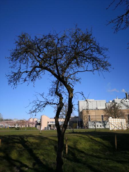 20200321 een van de weinige gespaarde appelbomen
